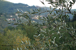 Tuscan Raindrops Water After Storm Olive Trees