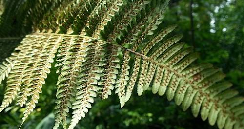 spora pada daun tanaman paku