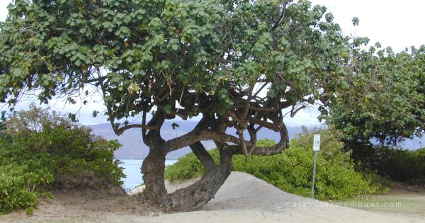 Pohon Waru