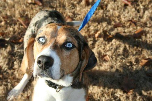 Beagle Shepherd Mix - Dog Training Home | Dog Types