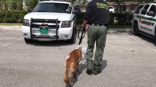 Perro policía se interpone para recibir la bala que se dirigía a su compañero humano; lo salva