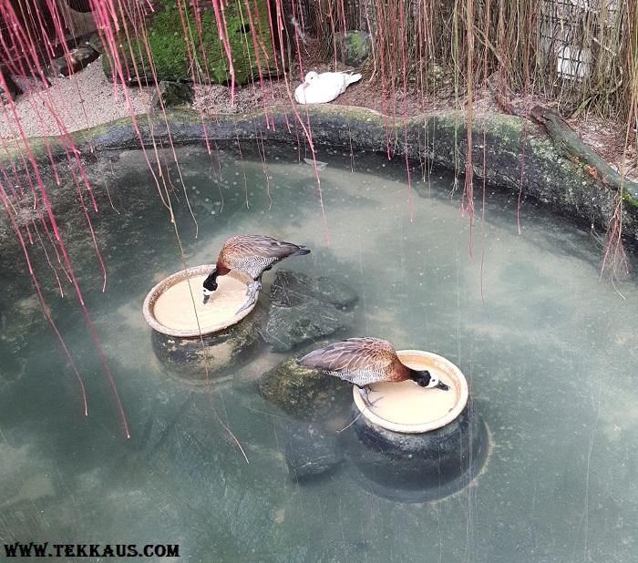 Entopia Penang Butterfly Farm Mandarin Ducks