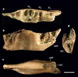 De nouveaux fossiles éclairent l'origine des Hobbits de l'île de Florès