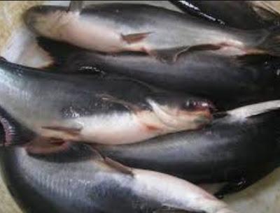 ikan patin konsumsi