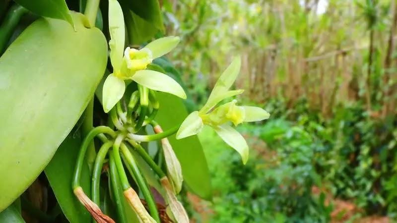 vanilya-bitkisi-nerede-yetişir