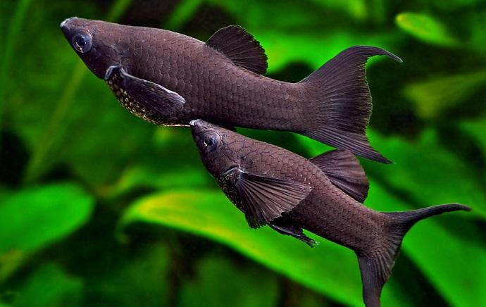 Ikan Black Molly - 10 Ikan Hias Pemakan Lumut