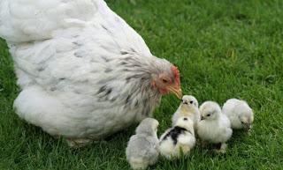 تفسير رؤية الدجاج في منام الحامل