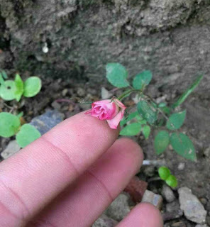nhân giống hoa hồng