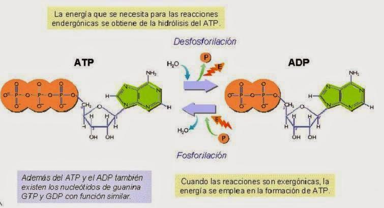 Más sobre formula para calcular el metabolismo basal