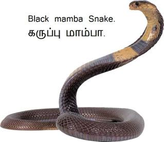 கருப்பு மாம்பா - Black mamba Snake.