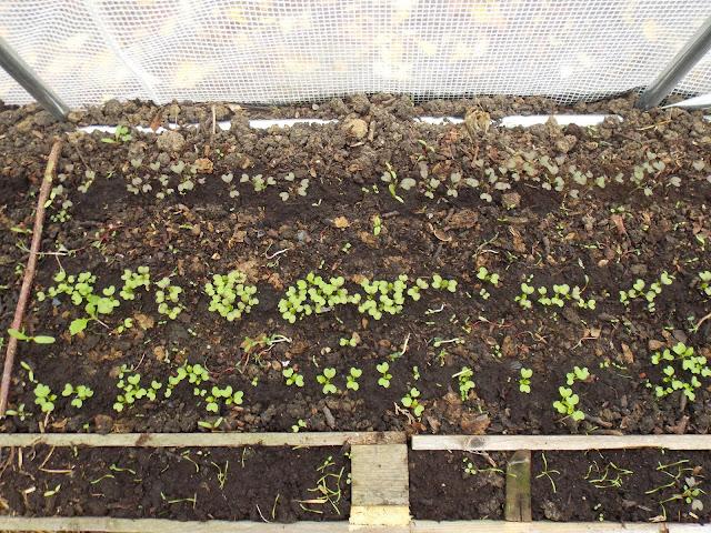 Les semis d'hiver dans la serre