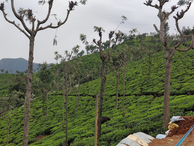 Coonoor Tea Estate