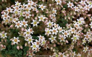 http://fotobabij.blogspot.com/2015/03/rozchodnik-biay-chloroticum-kwiaty.html