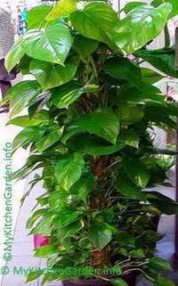 Image Of Money Plant Growing In A Pot Propagated From Cutting