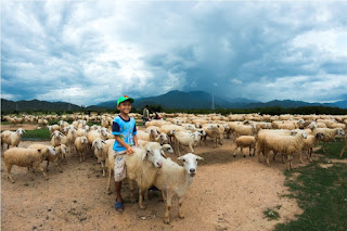 Cừu Phan Rang Ninh Thuận tiến ra Bắc