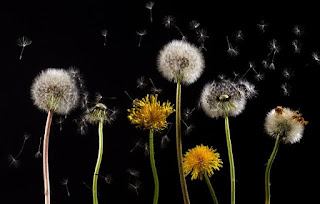Pollen from dandelion flower - a potential allergen