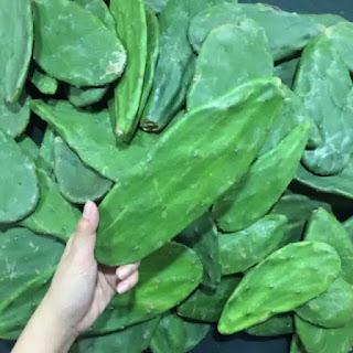 jual-kaktus-centong-murah.jpg