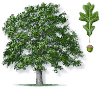 Meşe ağacı, yaprağı ve palamudunun görünümleri