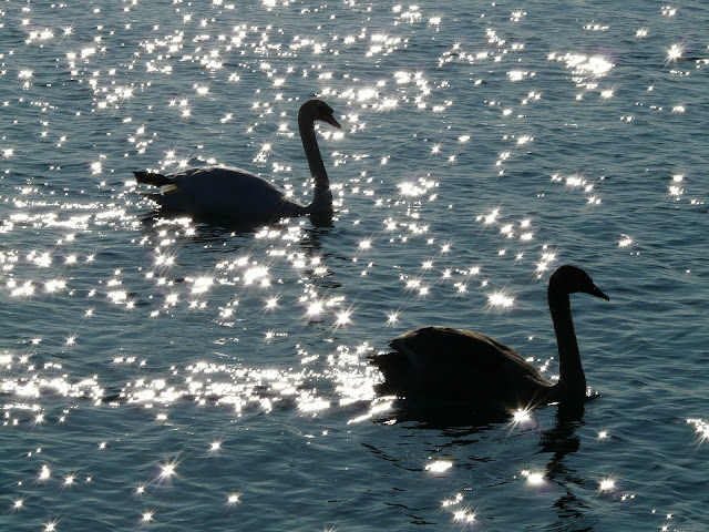Swans, Living From Glory To Glory Blog