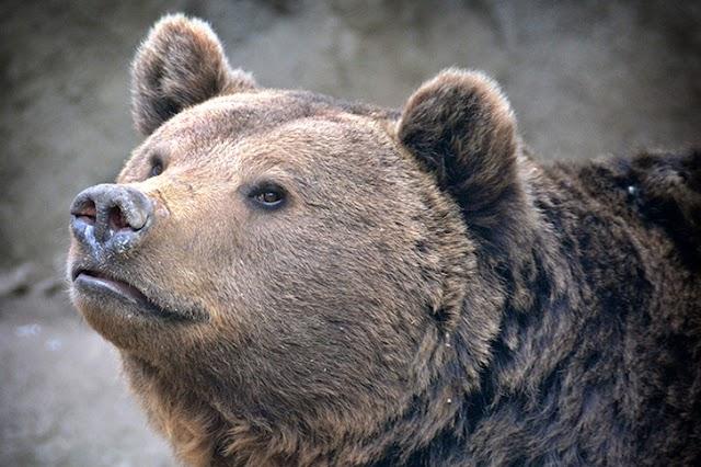 Meglátta árnyékát a fővárosi állatkert medvéje