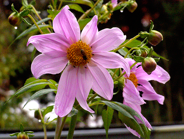 light pink dahlia blossom with bee dripping from rain