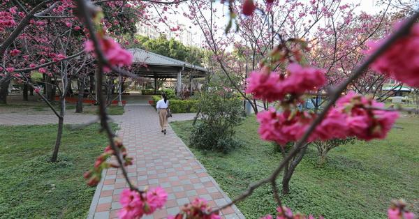台中南區|福順公園-社區櫻花公園,數十棵八重櫻、枝垂櫻,形成小型櫻花林