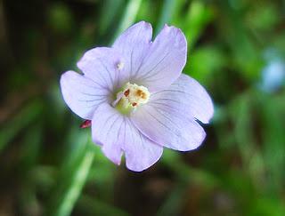 Flor de la adelfilla de tallos cuadrados