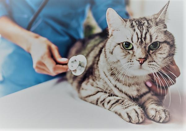 Tabby cat at vet