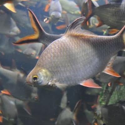 Ikan Kaviat