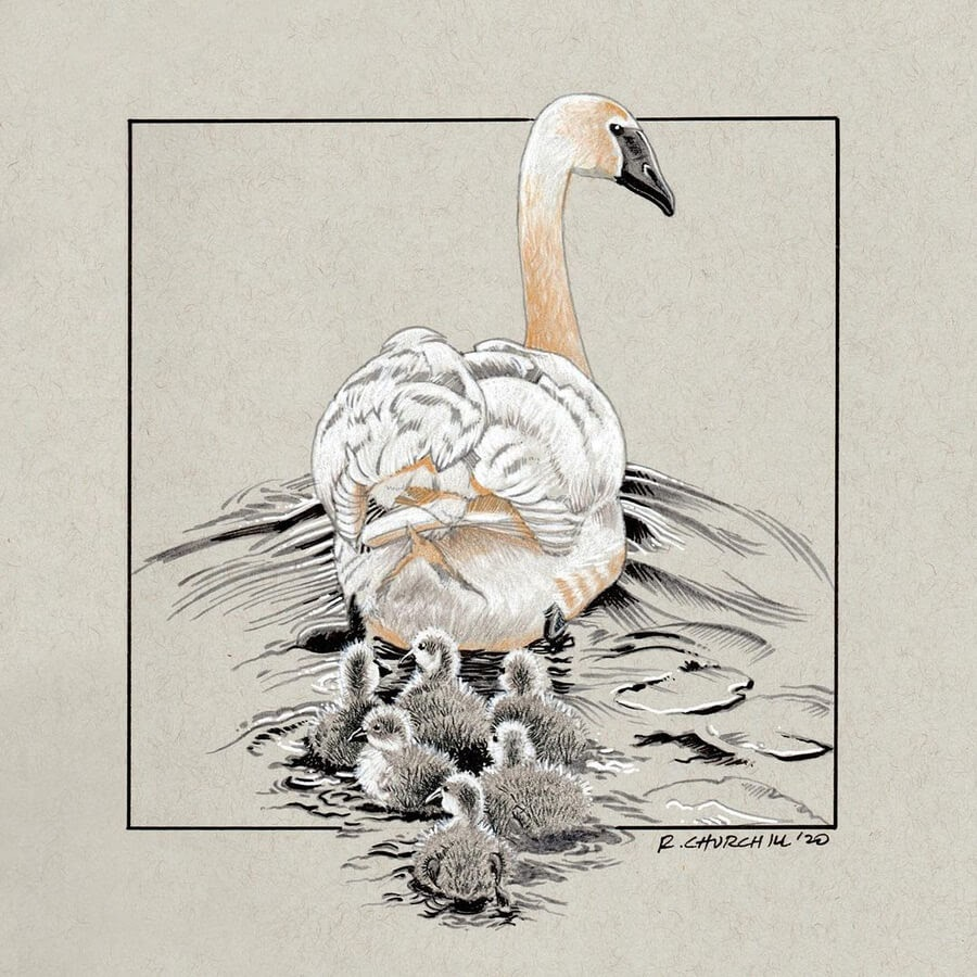 10-Mother-swan-and-cygnets-Ron-Churchill-www-designstack-co