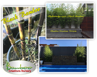 black bamboo supplied by bamboo creations victoria, in stock now to purchase