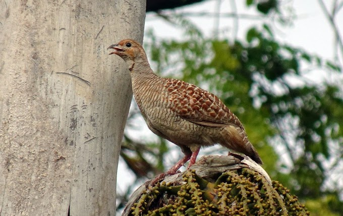 About Teetar. तीतर पक्षी। about partridge in hindi.