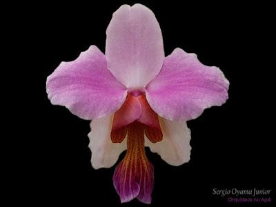Orquídea Vanda teres