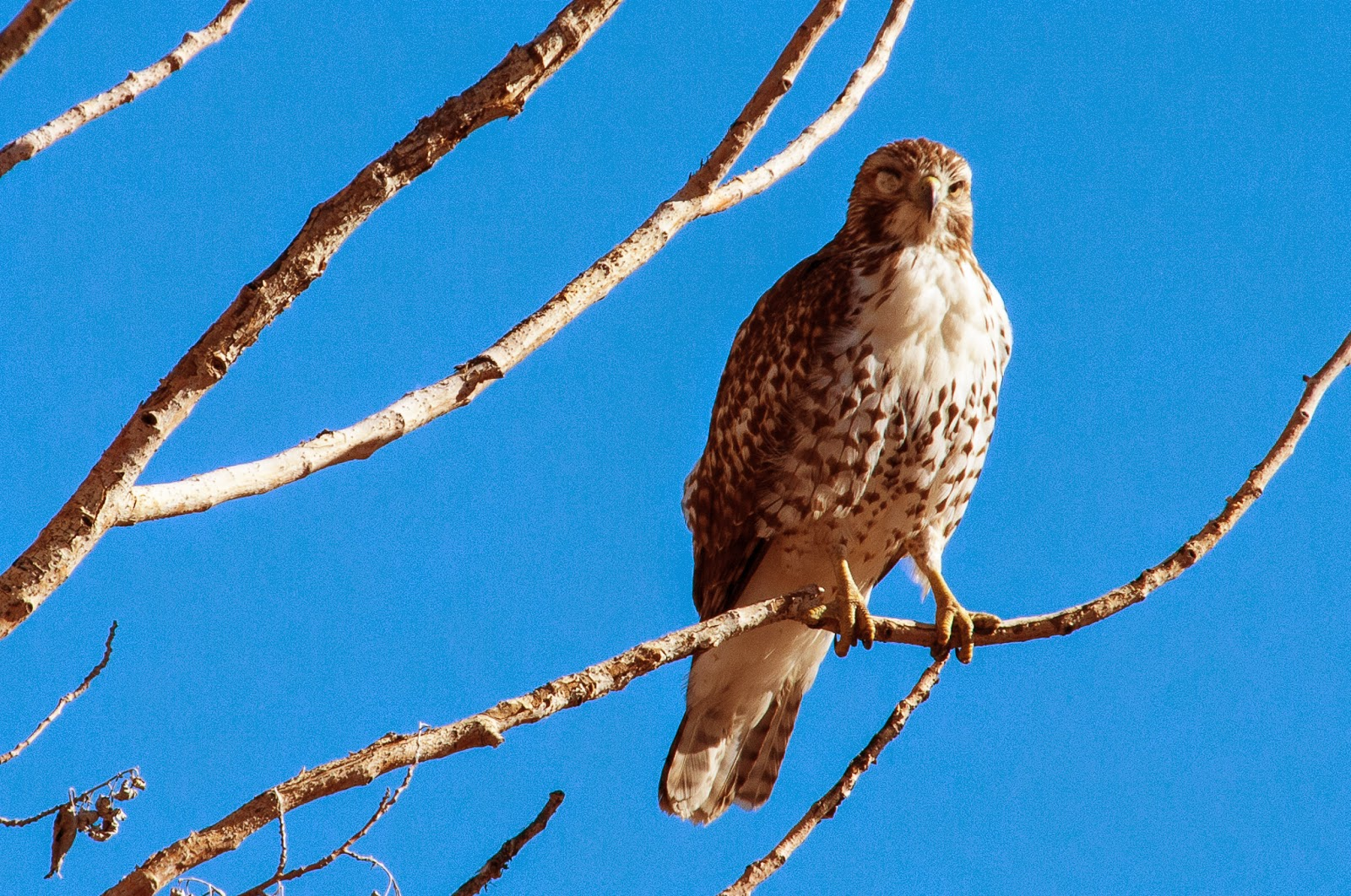 Red-tailed Hawk, Rocky Mountain Arsenal National Wildlife Refuge