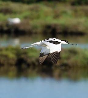 Recurvirostra avosetta flying