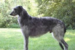Dekoratif Anjing Deerhound