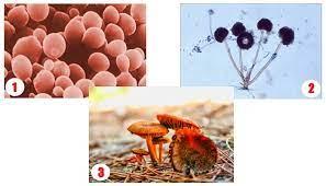 Jenis Jamur (Cendawan atau fungi)