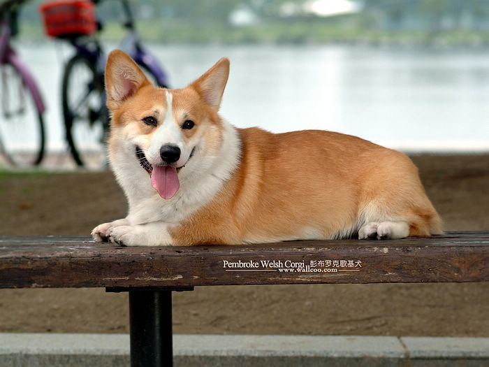 club de race corgi