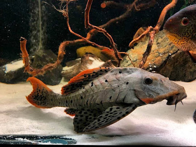 Ikan Sapu-Sapu Pseudorinelepis sp. ( Pleco L95 )