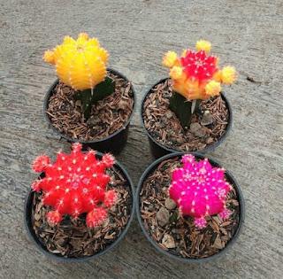 kaktus-gymno-murah-sekali.jpg
