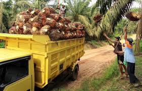 Berikut Daftar Harga TBS Kelapa Sawit Riau Sepekan Kedepan