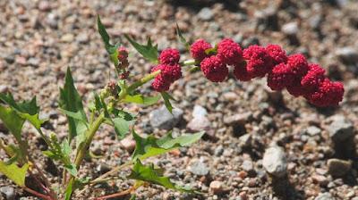 Strawberry-Blite (Chenopodium capitatum)