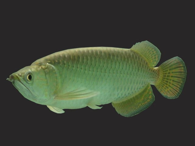 Gambar Ikan Arwana Irian