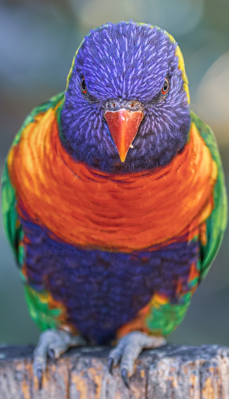 Rainbow lorikeet portrait.