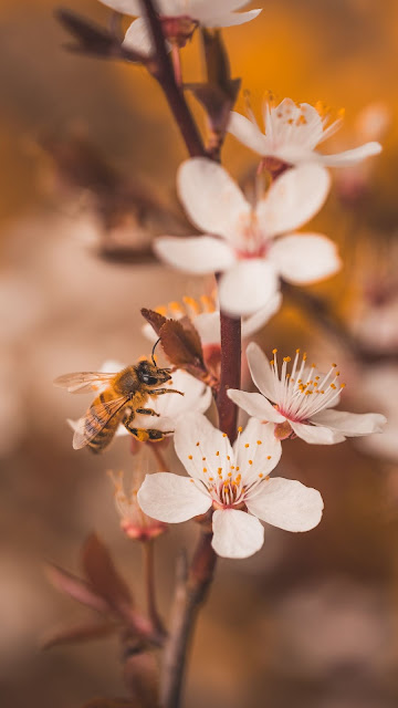 Free Bee On White Cherry Blossom wallpaper