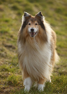 Common Collie types and breeds