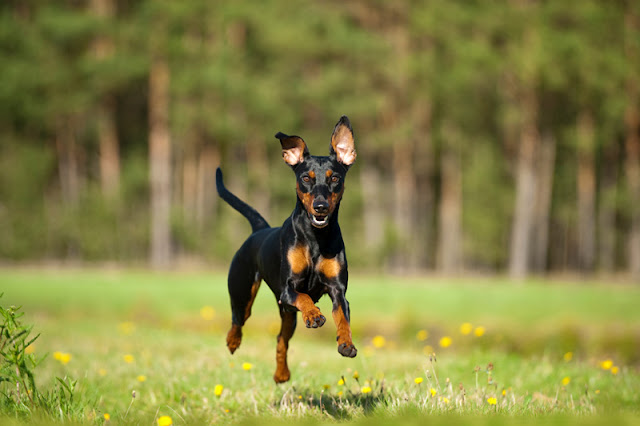 Do dogs prefer better quality treats or more treats? The implications for dog training from a study of what makes dogs run faster, like this beautiful dog running through a field.