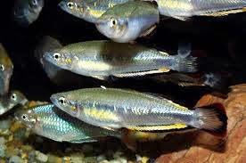 Pez Arcoíris de Madagascar