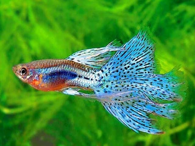 Untuk ukuran ikan guppy sekitar 2,3 cm-5 cm