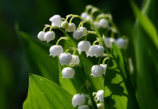 HOW POISONOUS IS THE LILY OF THE VALLEY?